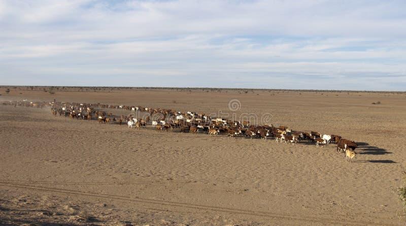 Rassemblement de bétail photo stock