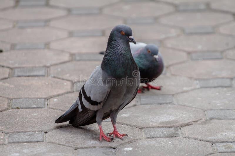 Rassemblement de brid de pigeon le parc public, les écoles et les divers endroits dans la ville photos libres de droits
