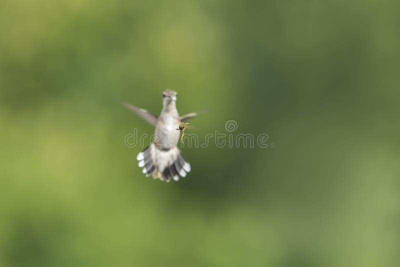 Rassemblement de guêpe et de colibri dans le jardin photos stock
