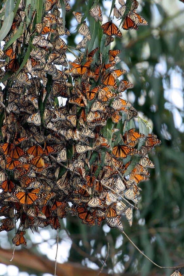 Rassemblement de guindineaux de monarque dans la zone de faune photos stock