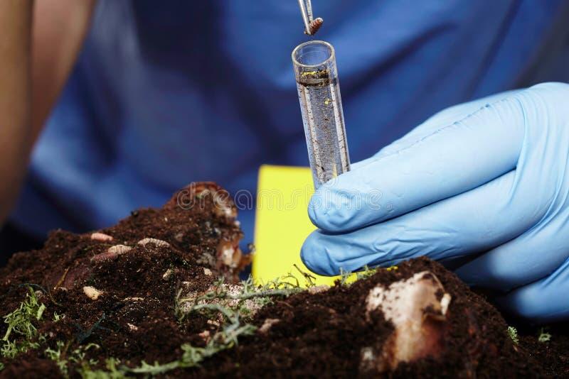 Rassemblement de la larve de mouche sur la scène du crime au tube à essai images libres de droits