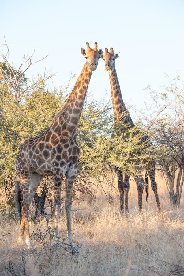 Rassemblement de parents de girafe photo libre de droits