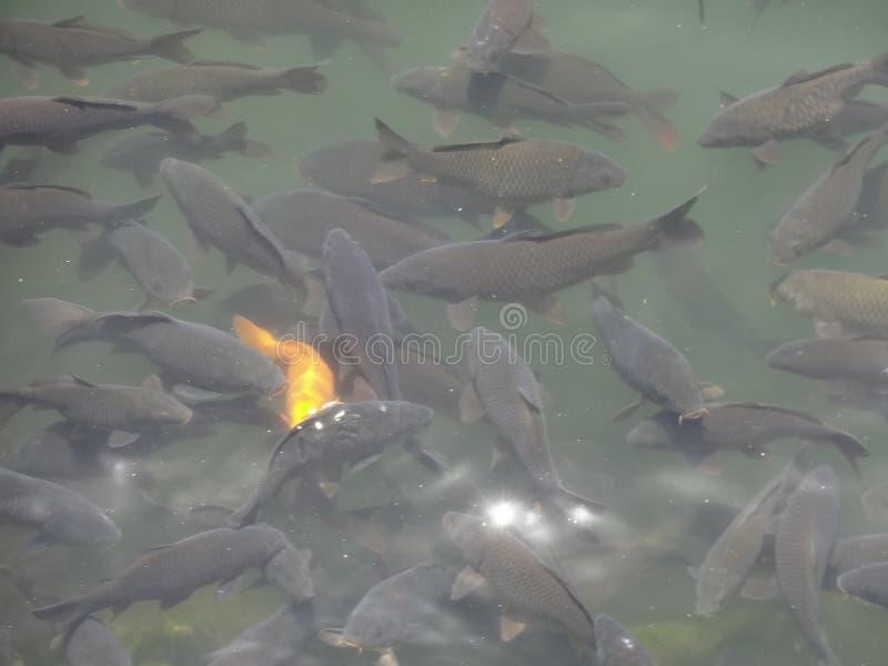 Rassemblement de poissons photographie stock libre de droits