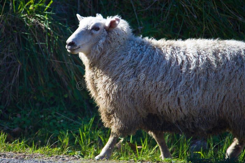 Rassemblement des moutons photo libre de droits