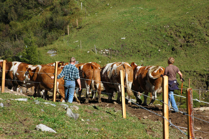 Rassemblement des vaches images stock