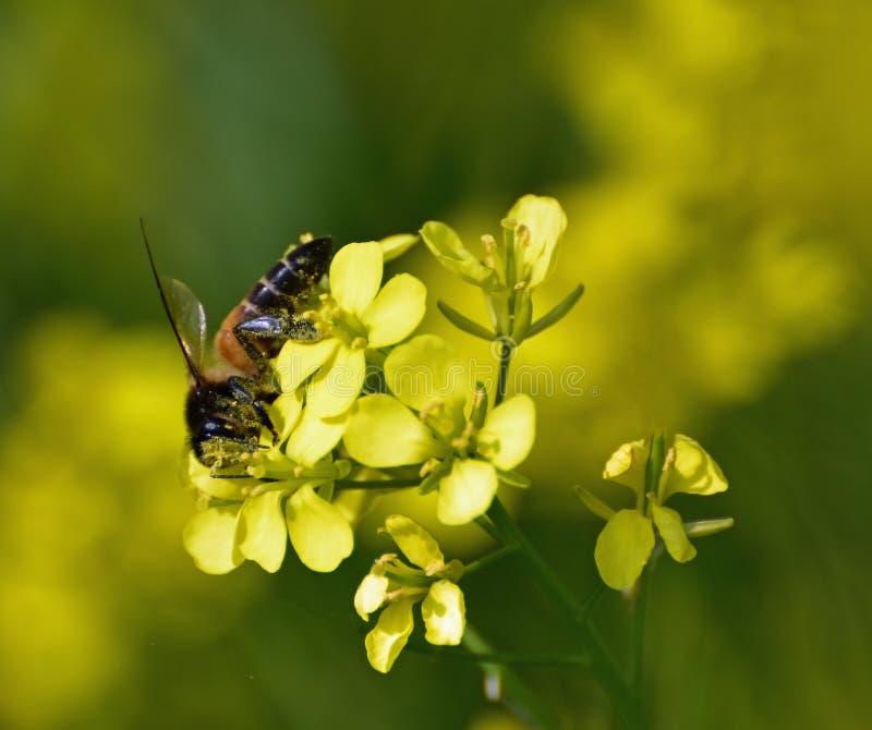 Rassemblement du pollen image libre de droits