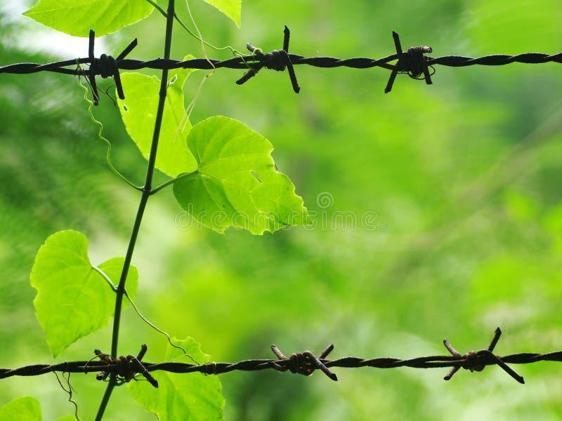 Rastejar planta o crescimento sob a luz solar sobre farpado prendido fotos de stock royalty free