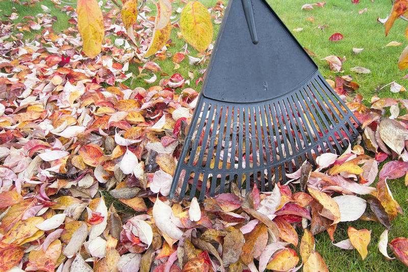 Rastrellatura dei fogli di caduta in primo piano del giardino immagini stock libere da diritti