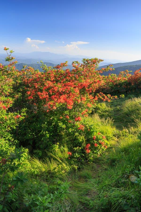 Rastro apalache Roan Mountain TN de las azaleas de la llama imagen de archivo libre de regalías