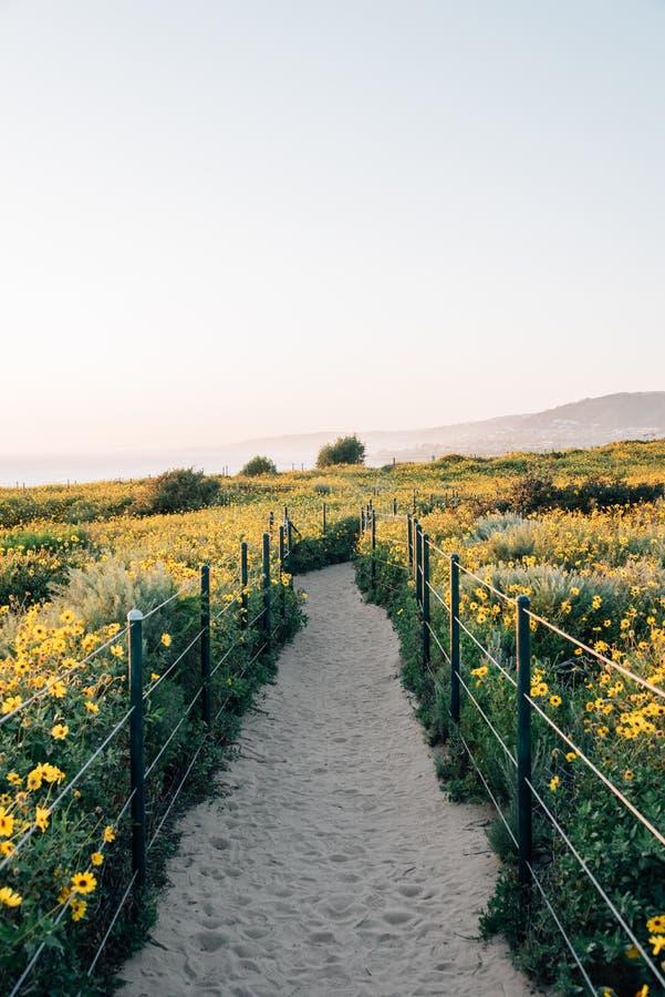 Rastro con las flores amarillas en Dana Point Headlands, en Dana Point, Condado de Orange, California foto de archivo libre de regalías