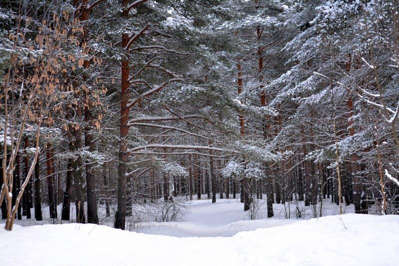 Rastro de la nieve en bosque del invierno fotografía de archivo