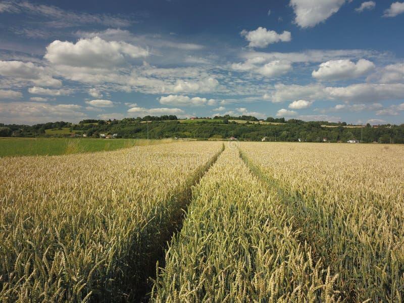 Rastro de la pista del tractor en el campo de trigo Cosecha de maduración de cereales Mecanización del trabajo agrícola La granja imagenes de archivo