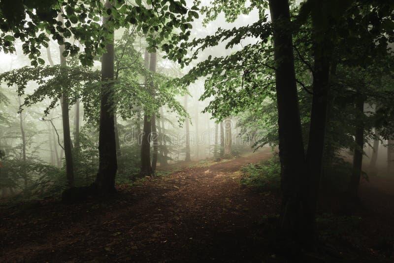 Rastro de niebla encantado del bosque Arbolado místico en día lluvioso fotos de archivo