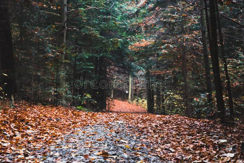 Rastro en bosque del pino del otoño fotos de archivo