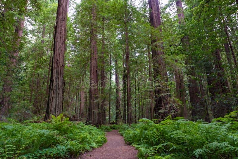 Rastro en parques del nacional y de estado de la secoya imagen de archivo