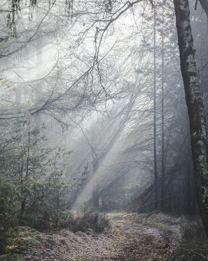 Rastro iluminado por el sol hermoso del bosque en una mañana brumosa con los rayos del sol que se encienden encima del piso del b fotos de archivo