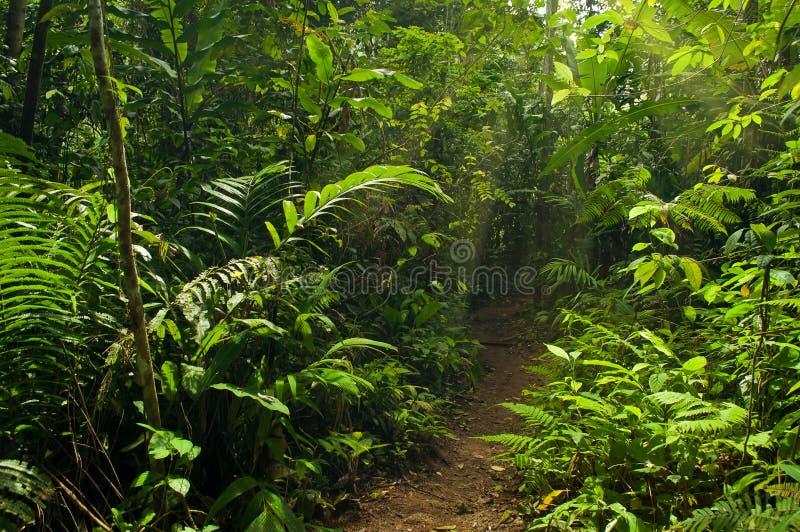 Rastro que camina en la selva foto de archivo