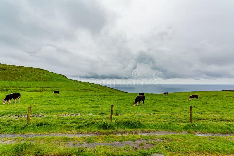 Rastro rural entre el campo irlandés con las vacas que pastan foto de archivo