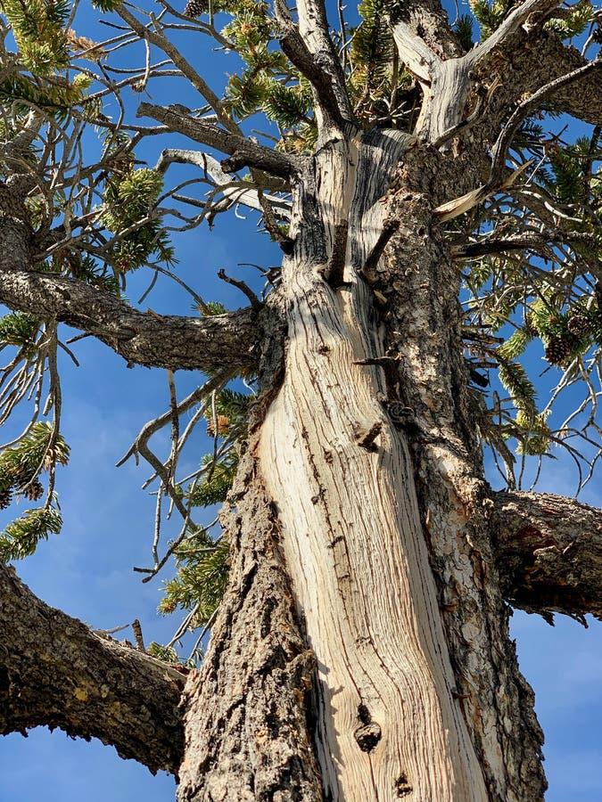 Rastro superior del lazo de Bristlecone, Mt Charleston, Nevada fotografía de archivo libre de regalías