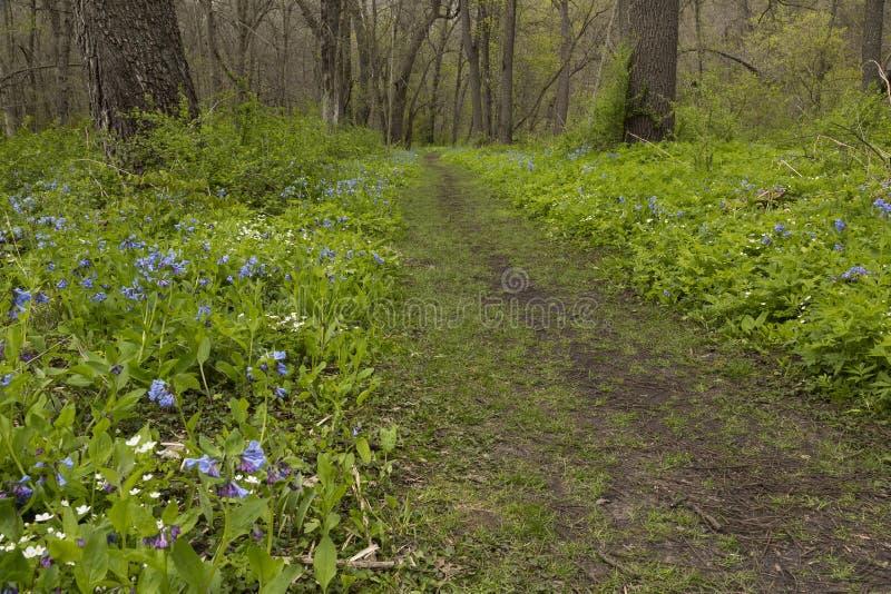 Rastro a través de las flores de Bell azules imagen de archivo