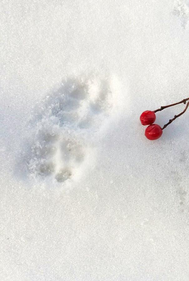 Rastros de patas de un gato y de bayas del viburnum imagenes de archivo