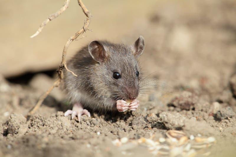 Ratón. imagen de archivo libre de regalías