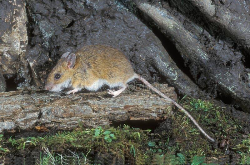 ratón Amarillo-necked, flavicollis del Apodemus, imagen de archivo libre de regalías
