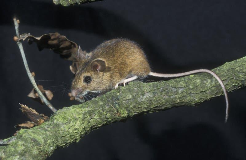 ratón Amarillo-necked, flavicollis del Apodemus, fotografía de archivo libre de regalías