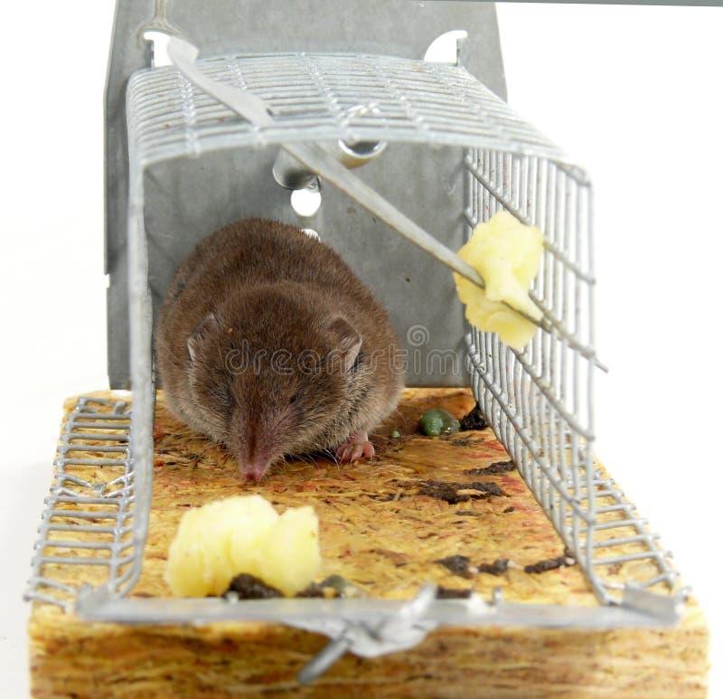 Ratón atrapado vivo imagen de archivo libre de regalías