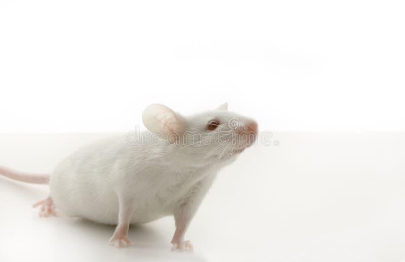 Ratón blanco fotos de archivo libres de regalías