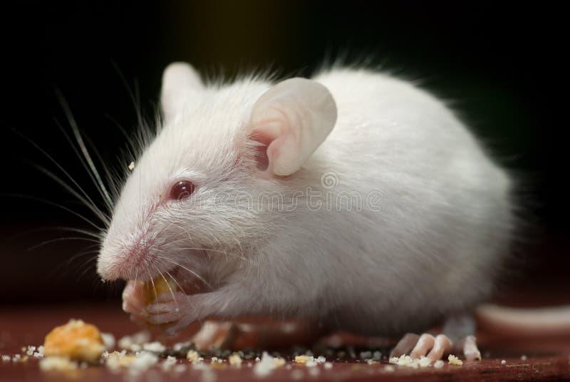Ratón blanco imagen de archivo