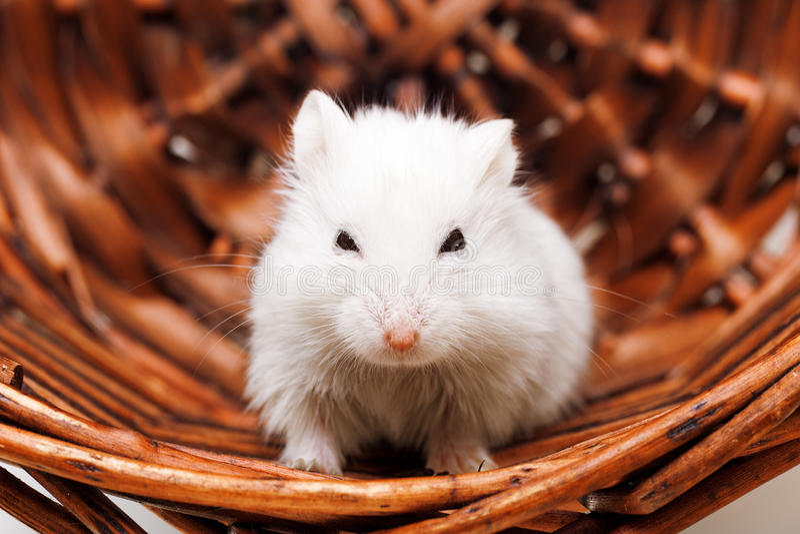 Ratón blanco en cesta imagen de archivo libre de regalías
