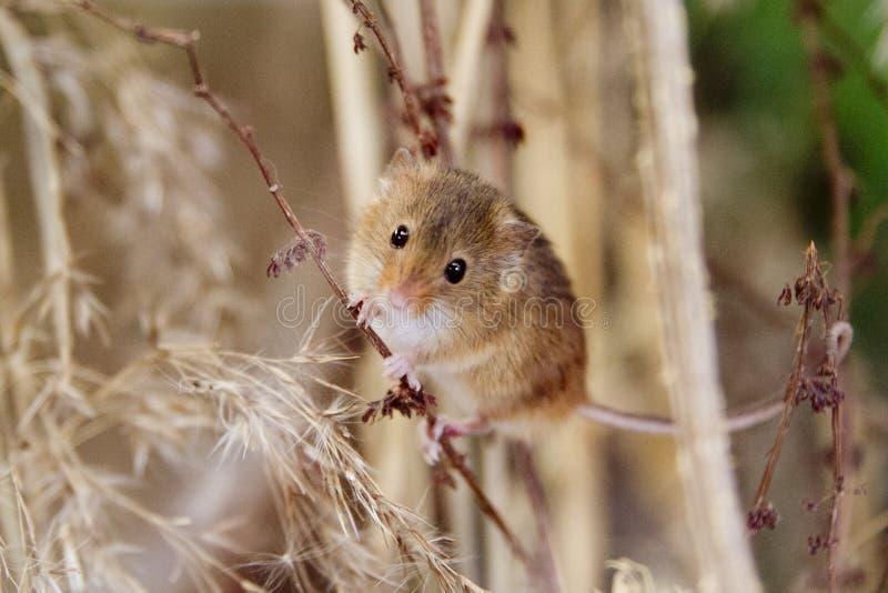 Ratón de campo en hierba seca larga foto de archivo libre de regalías