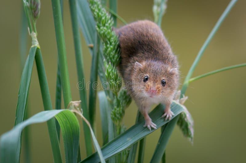 Ratón de cosecha en trigo imagenes de archivo