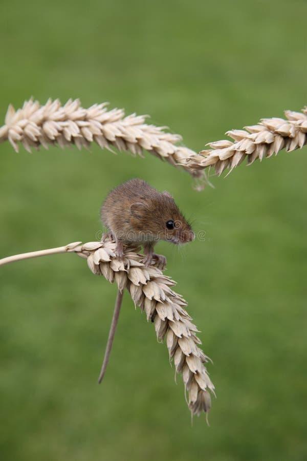 Ratón De Cosecha, Minutus De Micromys Fotografía de archivo