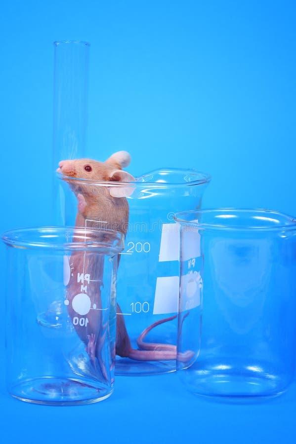 Ratón del laboratorio foto de archivo libre de regalías