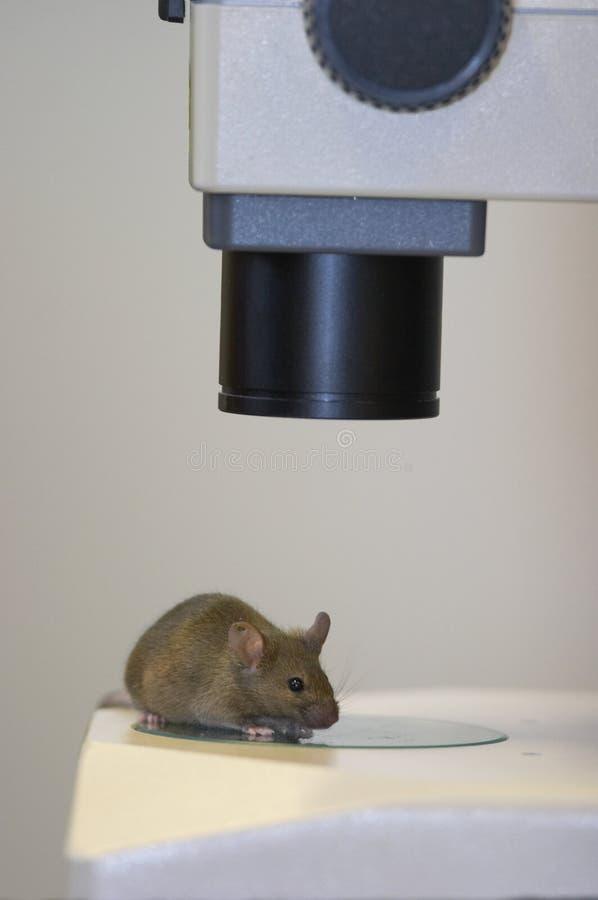 Ratón del laboratorio imagenes de archivo