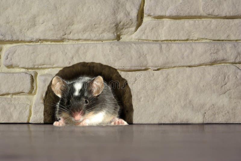 Ratón en agujero imágenes de archivo libres de regalías