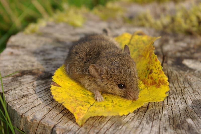 Ratón en la hoja amarilla fotografía de archivo