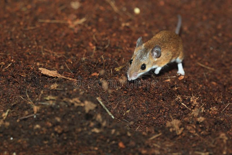 Ratón enano africano imágenes de archivo libres de regalías