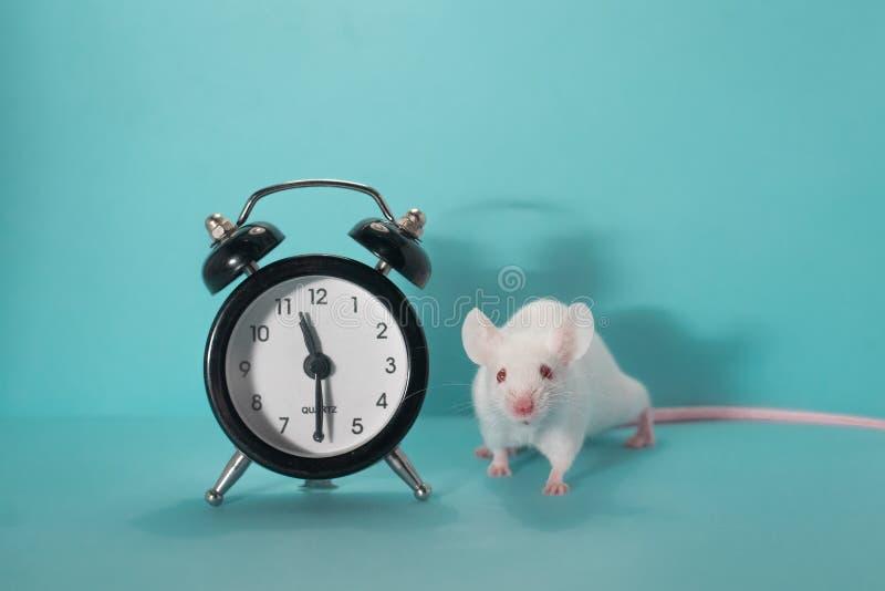 Ratón, fondo azul, despertador en el 11:30 foto de archivo libre de regalías