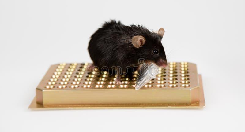 Ratón obeso en el estante del tubo fotos de archivo libres de regalías