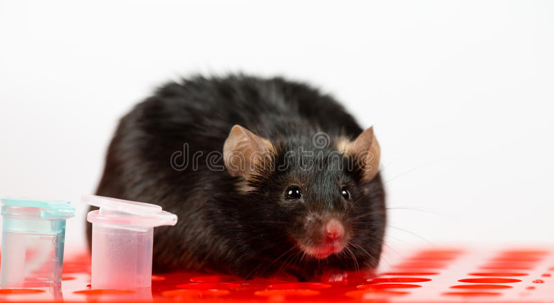 Ratón obeso en el estante del tubo imágenes de archivo libres de regalías