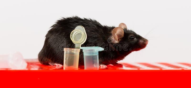 Ratón obeso en el estante del tubo imagen de archivo libre de regalías