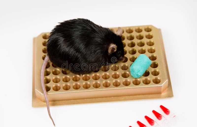 Ratón obeso en el estante del tubo fotografía de archivo