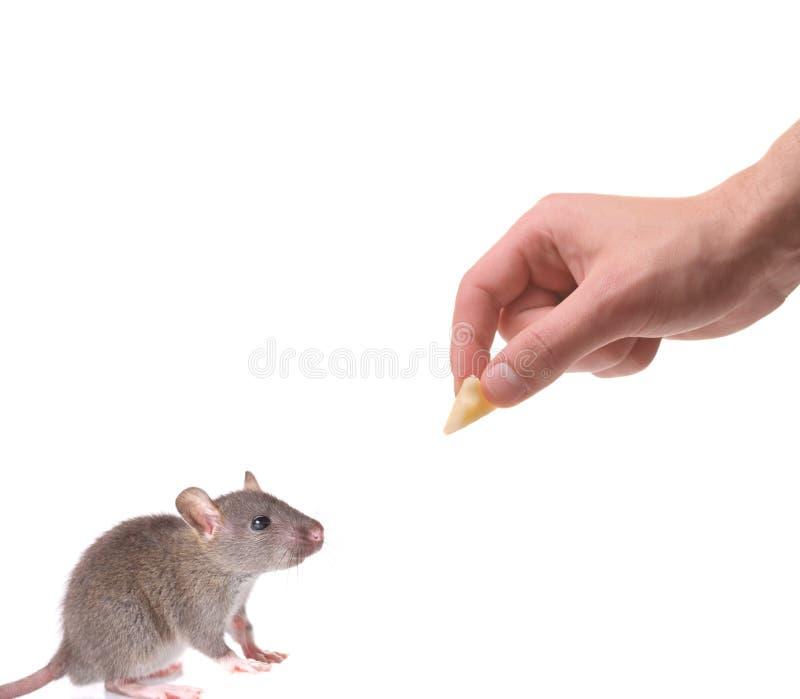 Ratón que es engañado con un pedazo de queso foto de archivo