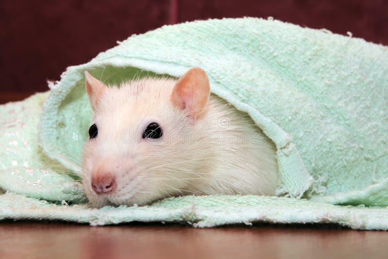 Rat à la maison image libre de droits