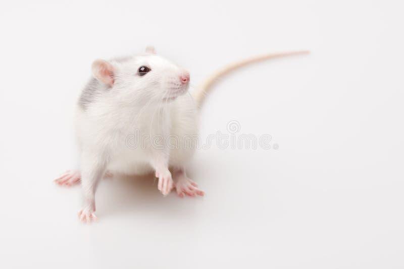 rat à la maison images libres de droits