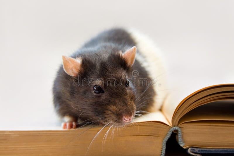 Rat à la maison se reposant sur un livre image stock