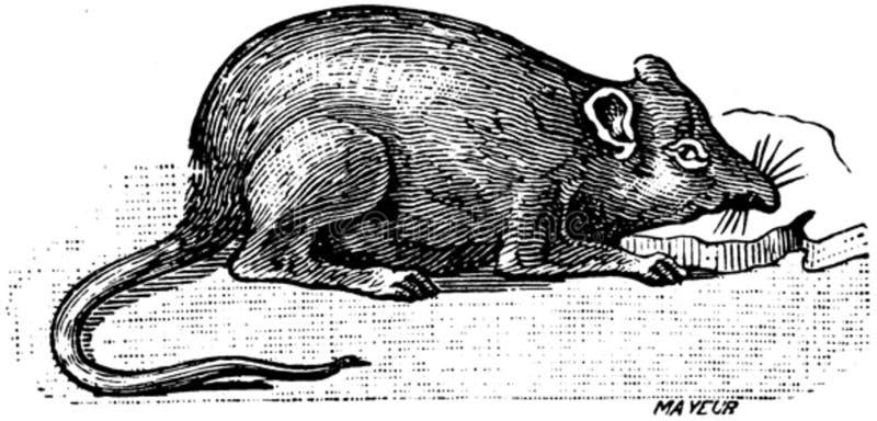 Rat-002 Free Public Domain Cc0 Image